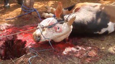 """Photo of Přichází krvavý muslimský svátek Eid al-Adha, při němž dojde k rituálním porážkám milionů zvířat. Neevidujeme ani jeden protest tzv. """"Ochránců zvířat""""! (VIDEA)"""