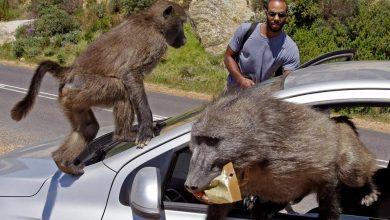 Photo of Takto to vypadá, když se začíná Itálie měnit v planetu opic (VIDEA)
